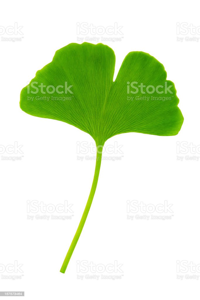 Ginkgo leaf with clipping path royalty-free stock photo