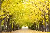 秋の季節に日本中にイチョウ葉黄色色