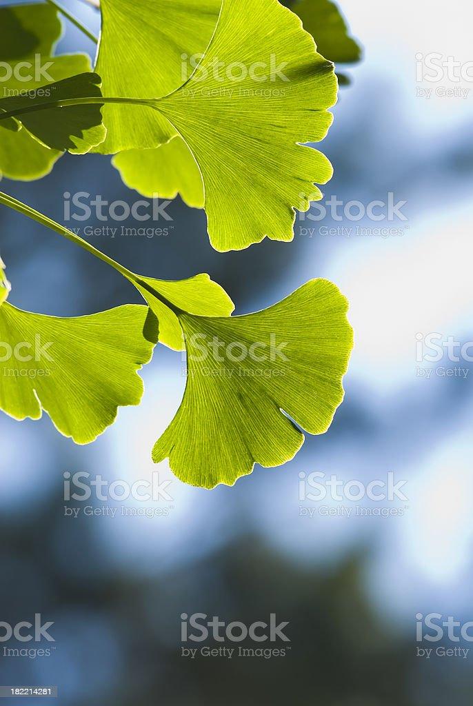 Ginkgo (Ginkgo biloba) leaves - I royalty-free stock photo