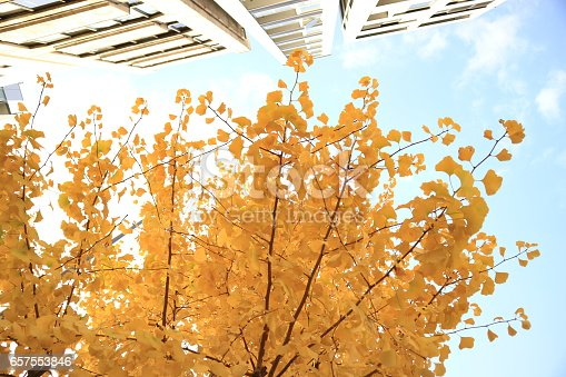istock ginkgo leaves in japan beside house 657553846
