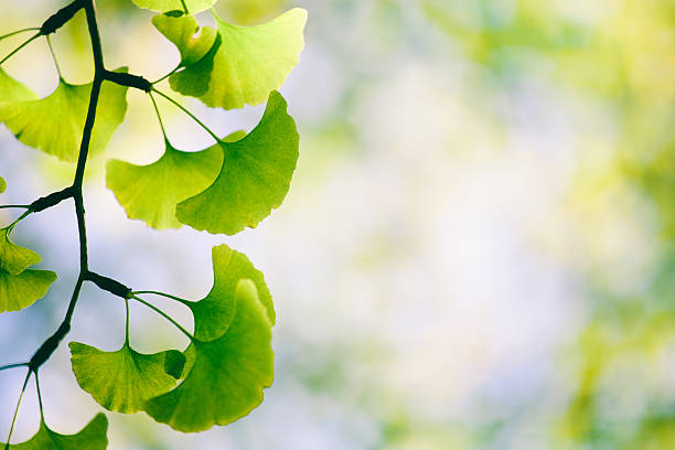 royalty free ginkgo biloba pictures images and stock photos istock
