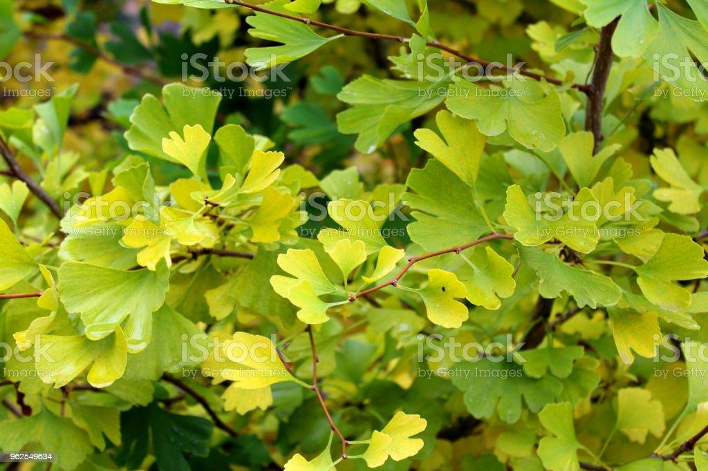 ginkgo tree (Ginkgo biloba) background texture - Royalty-free Alternative Medicine Stock Photo