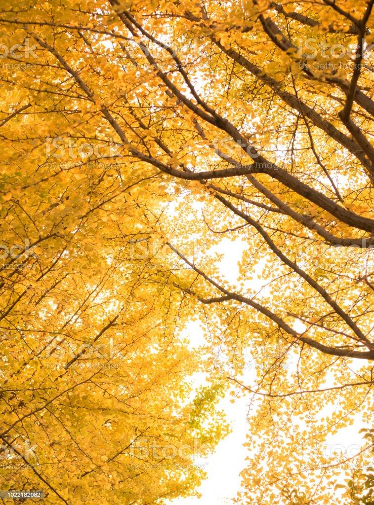 Ginkgo Tree Leaf In Autumn Fall Season Texture Wallpaper