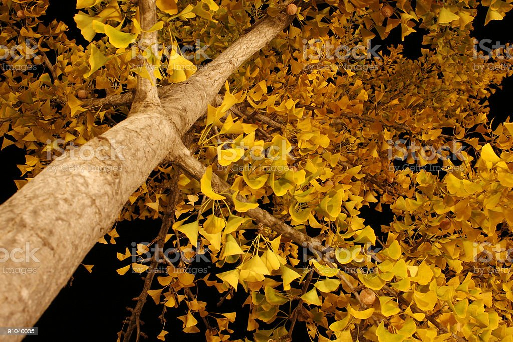 ginkgo tree - middle of the night royalty-free stock photo
