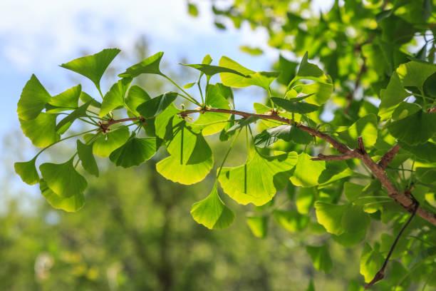 Ginkgo tree. stock photo