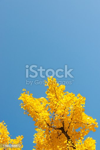 Ginkgo trees on blue sky. Yellow ginkgo leaves on treetop with blue sky of autumn season. Picture with copy space for design or text.