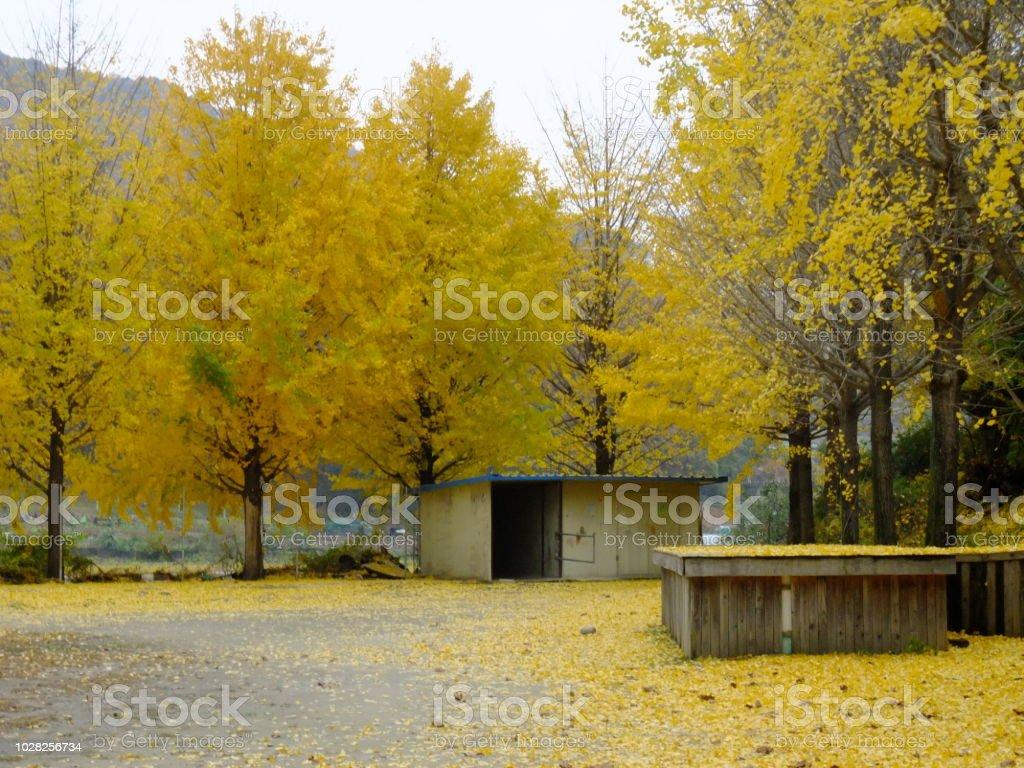 은행나무 스톡 사진