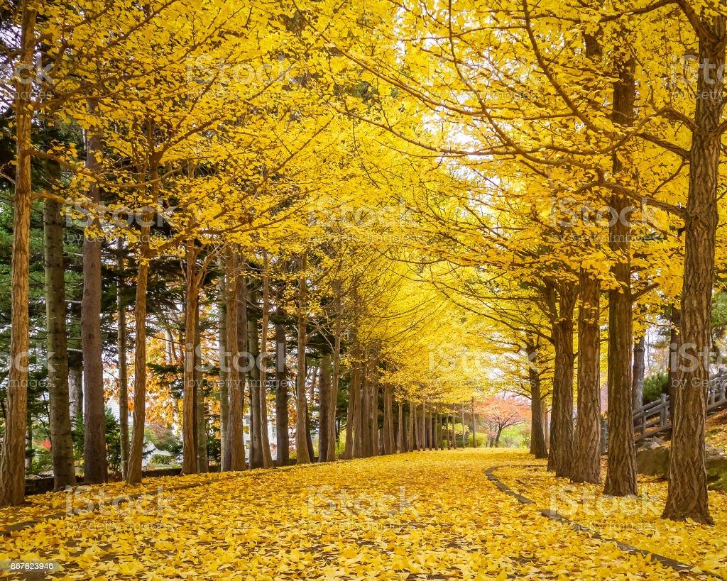 Ginkgos, die goldenen Tunnel im Herbst in Tokio, Japan. – Foto