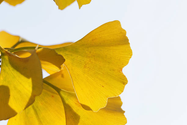 ginkgo bright yellow leaves in autumn - whiteway stock photos and pictures