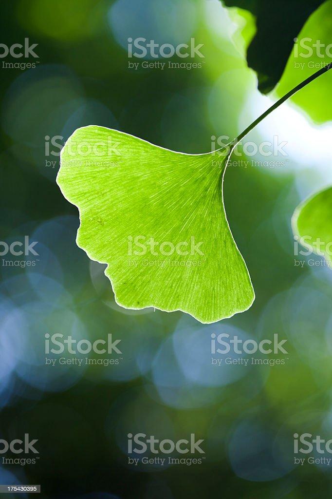 Ginko Biloba Leaf, Close-up royalty-free stock photo