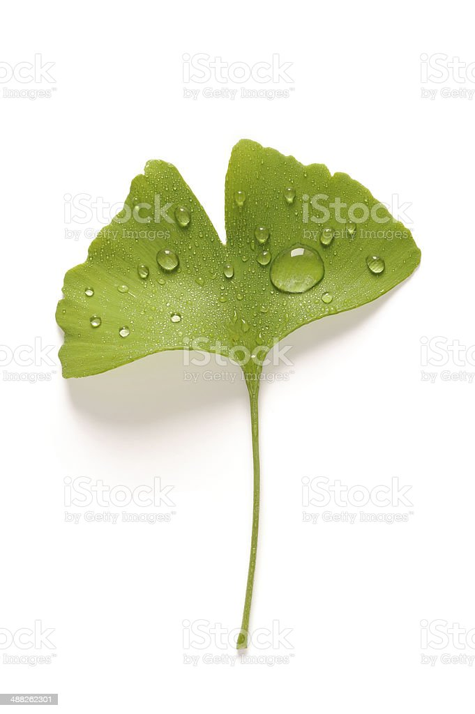 Ginko biloba leaf with water drops stock photo