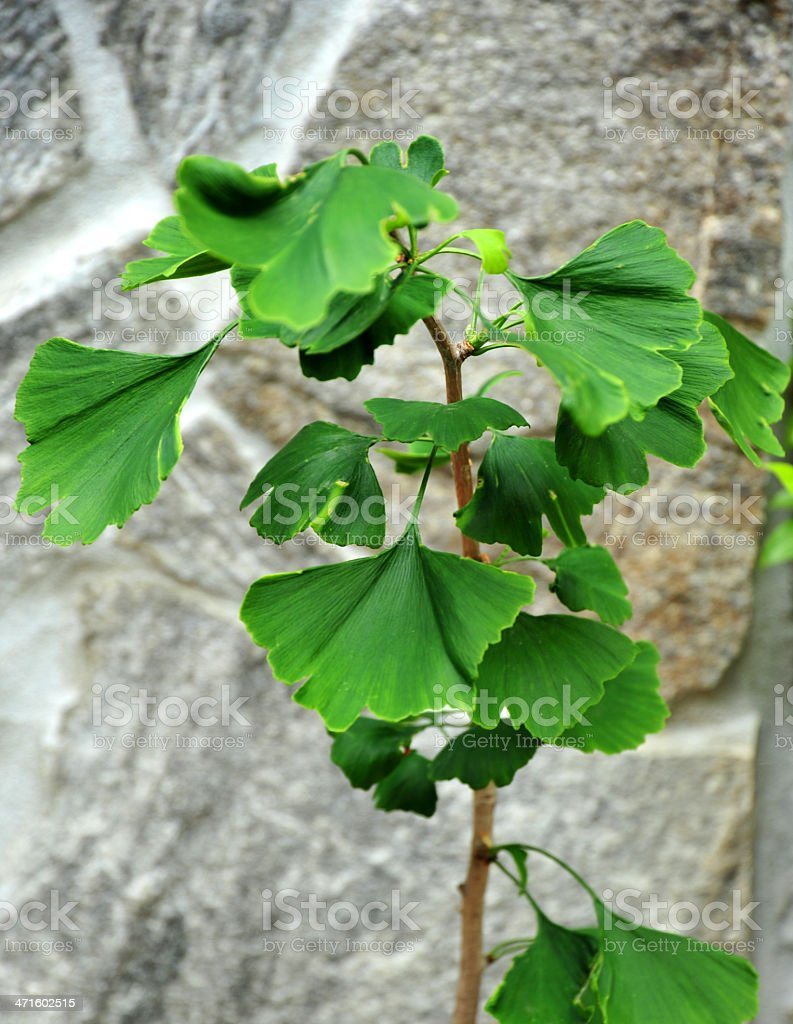 Ginko biloba leaves royalty-free stock photo