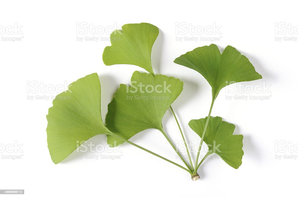 Ginko biloba leaves twig stock photo