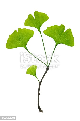 Close-up of ginko biloba leaves twig,Isolated on white background,Full frame and high resolution image