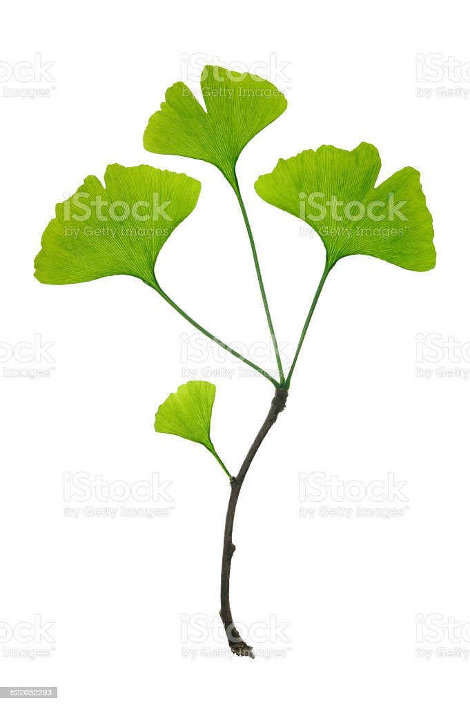 Ginko biloba twig stock photo