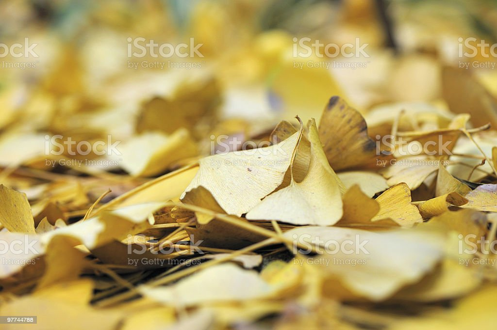Ginko Leaves background royalty-free stock photo