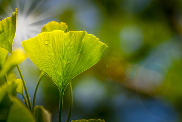 Ginko leaves Ginko leaves chinese herbal medicine stock pictures, royalty-free photos & images