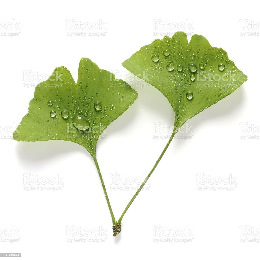 Ginko leaves with water drops stock photo