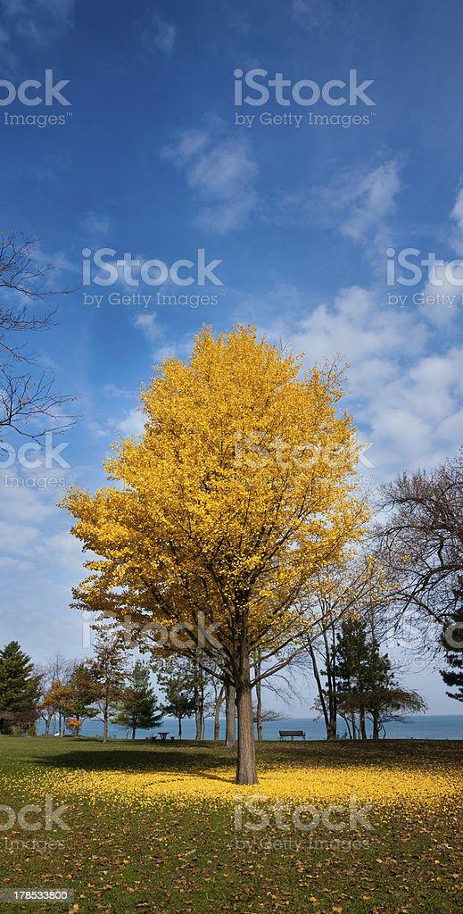 ginko tree royalty-free stock photo