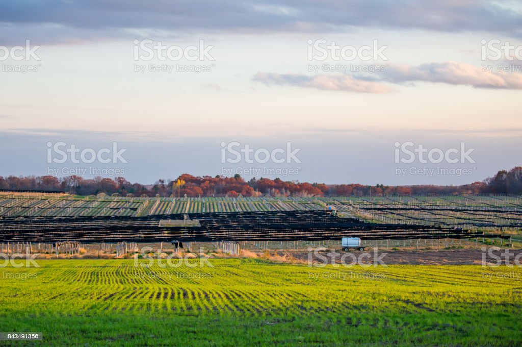 Ginseng and winter wheat in autumn stock photo