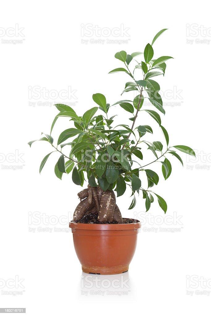 Ginseng bonsai tree stock photo