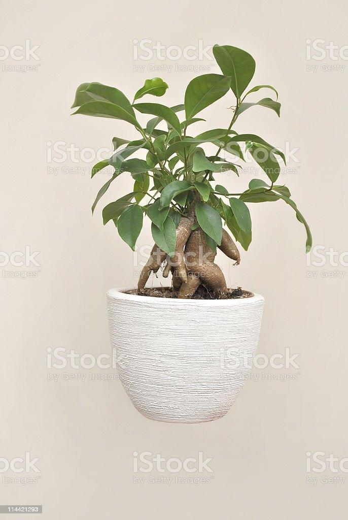 Ginseng Ficus stock photo