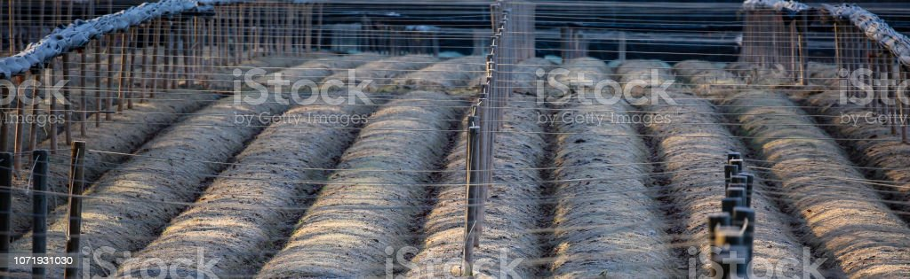 Ginseng field in Marathon county Wisconsin in November stock photo