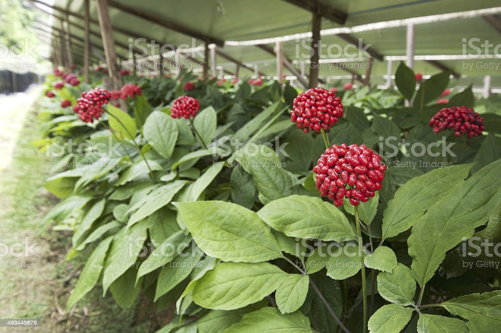Ginseng fruit stock photo