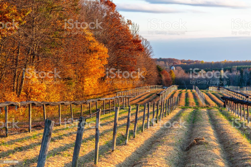 Ginseng in Autumn stock photo