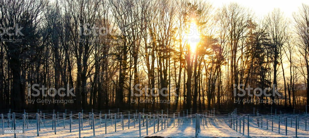 Ginseng in the dawn sunlight stock photo