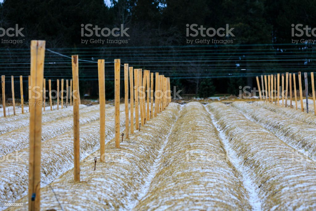 Ginseng posts and wire in a row stock photo