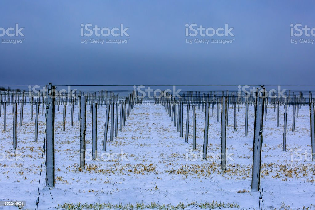 Ginseng rows in winter stock photo