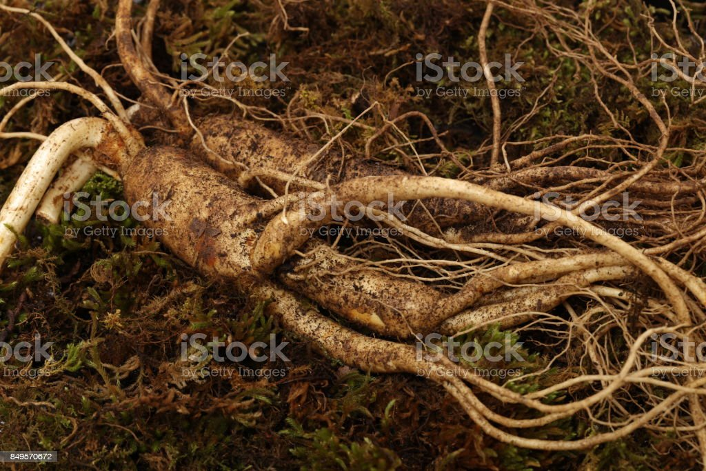 Ginseng that has just been dug out in the soil stock photo