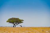Giraf onder een boom in de trillende hitte van de woestijn van Namibie (Afrika)