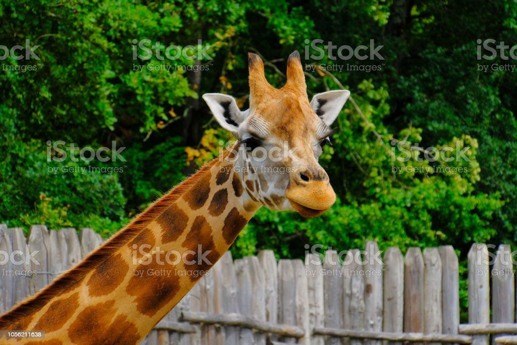 girafe - Photo