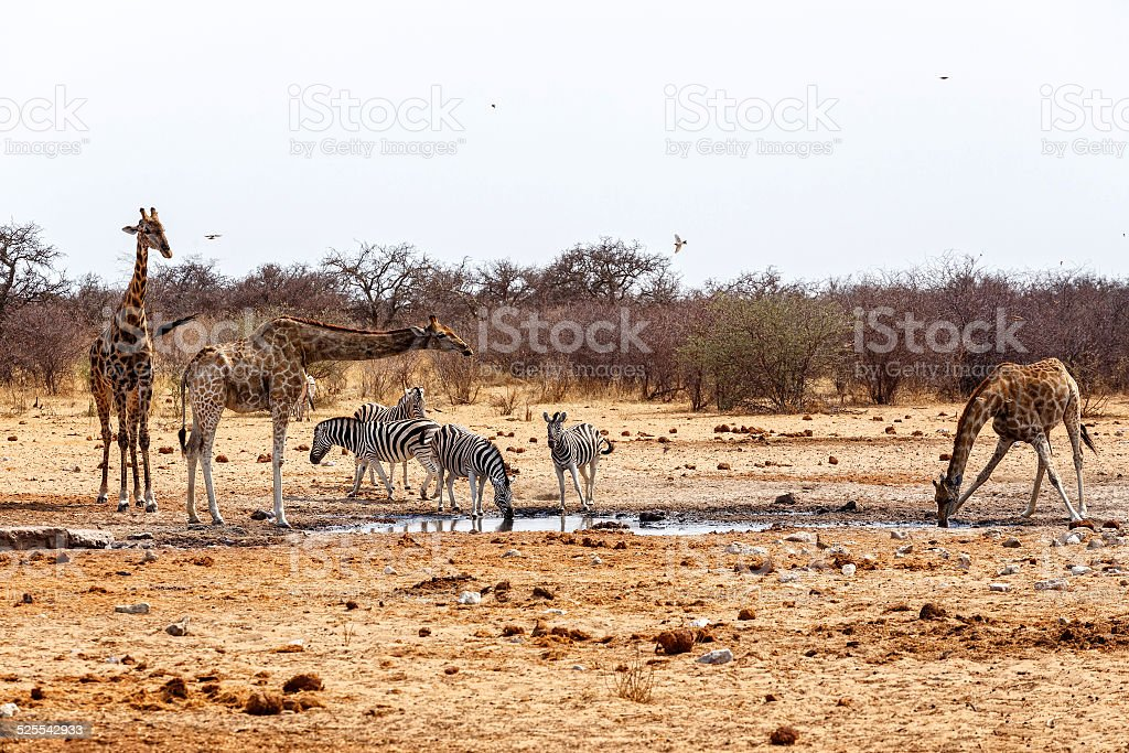 Giraffa camelopardalis and zebras drinking on waterhole stock photo