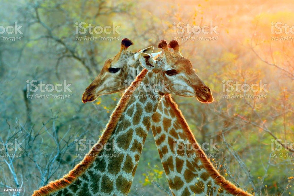 Jirafa safari africano animales fauna naturaleza sabana desierto que Kruger patrones - foto de stock