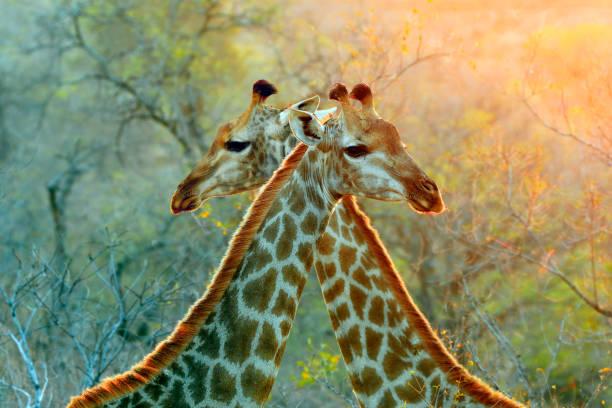 giraffe afrika-safari tiere tierwelt natur savanne wildnis muster kruger - safari tiere stock-fotos und bilder