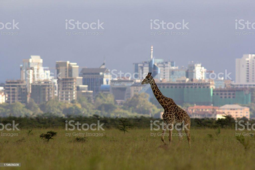 Giraffe against city skyline stock photo