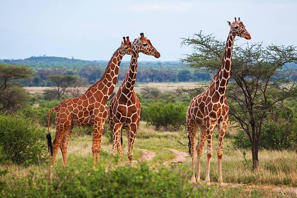giraffe among savanna in africa - giraffe stock photos and pictures