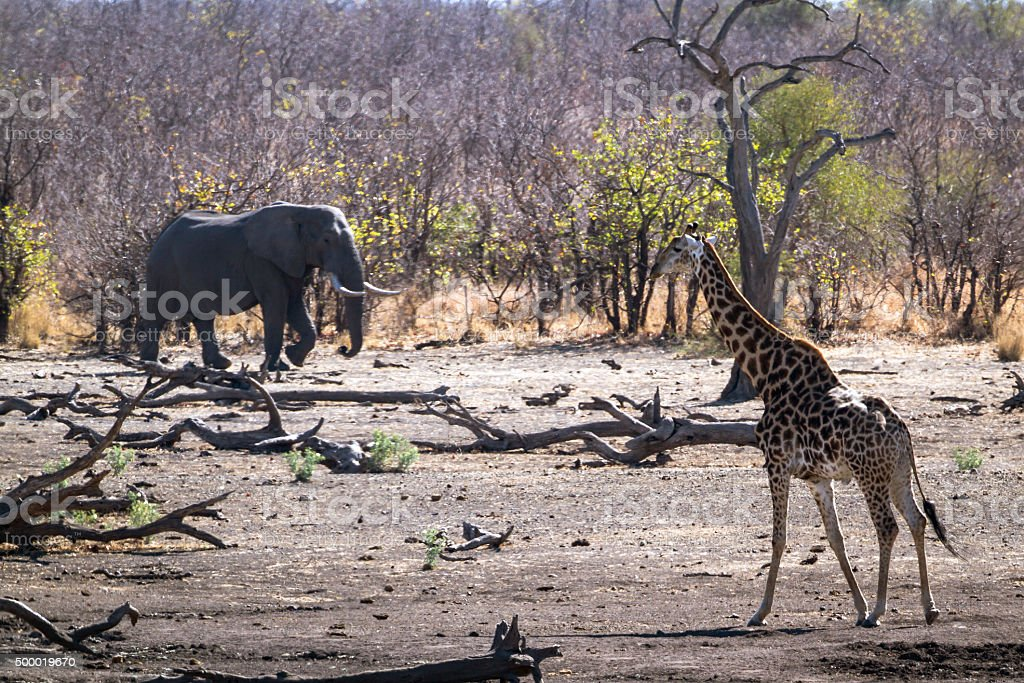 Giraffe and African bush elephant in Kruger National park stock photo