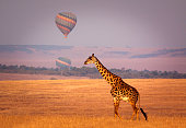 Giraffe below a distant hot air balloon - Masai Mara, Kenya