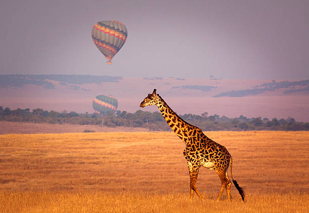 Giraffe and balloon Giraffe below a distant hot air balloon - Masai Mara, Kenya east africa stock pictures, royalty-free photos & images