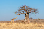 Ruaha National Park is the largest national park in Tanzania