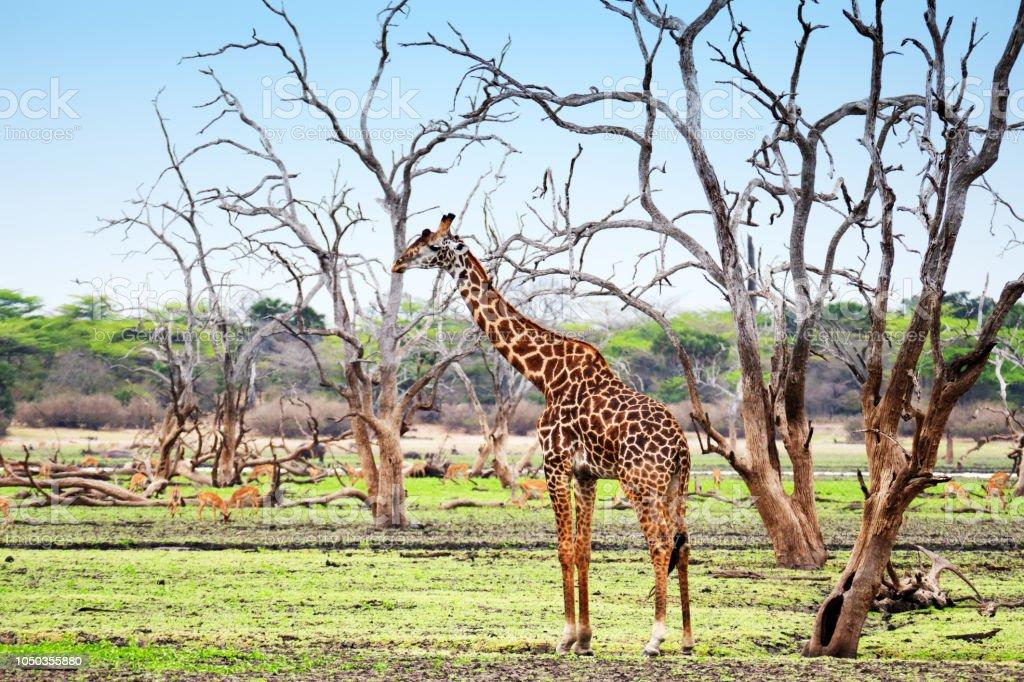 Girafe et impala dans le gibier de Selous en Tanzanie - Photo