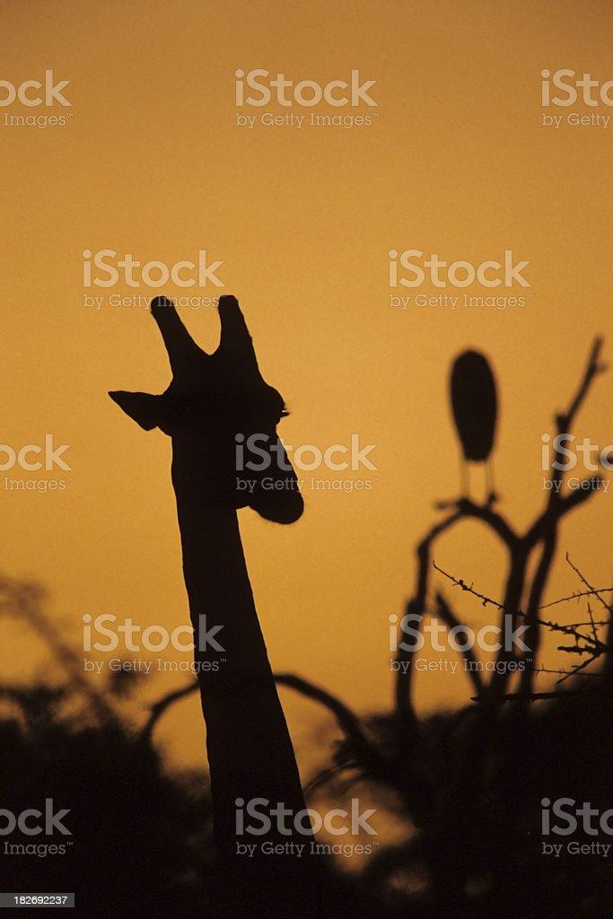 Giraffe and Marabu at Sunset royalty-free stock photo