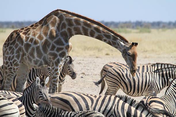 Giraffe arching neck over Zebra stock photo