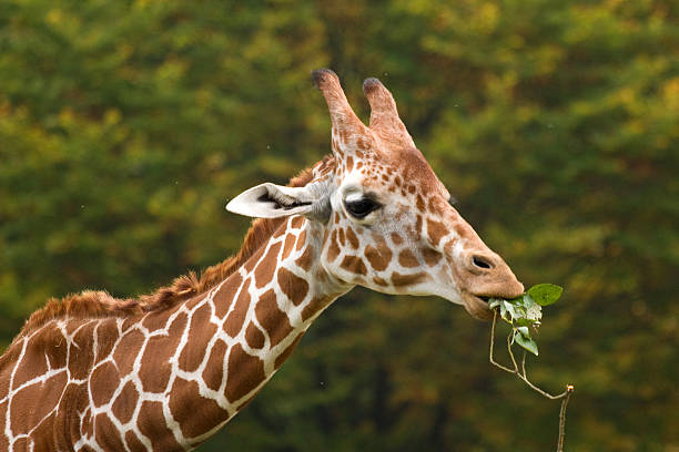 Giraffe Eating Plants Stock Photos, Pictures & Royalty ...