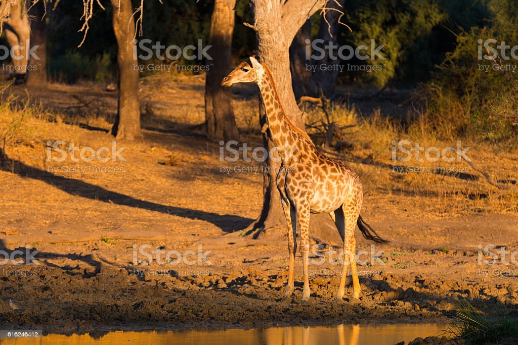 Giraffe at sunset Mapungubwe National Park, South Africa stock photo