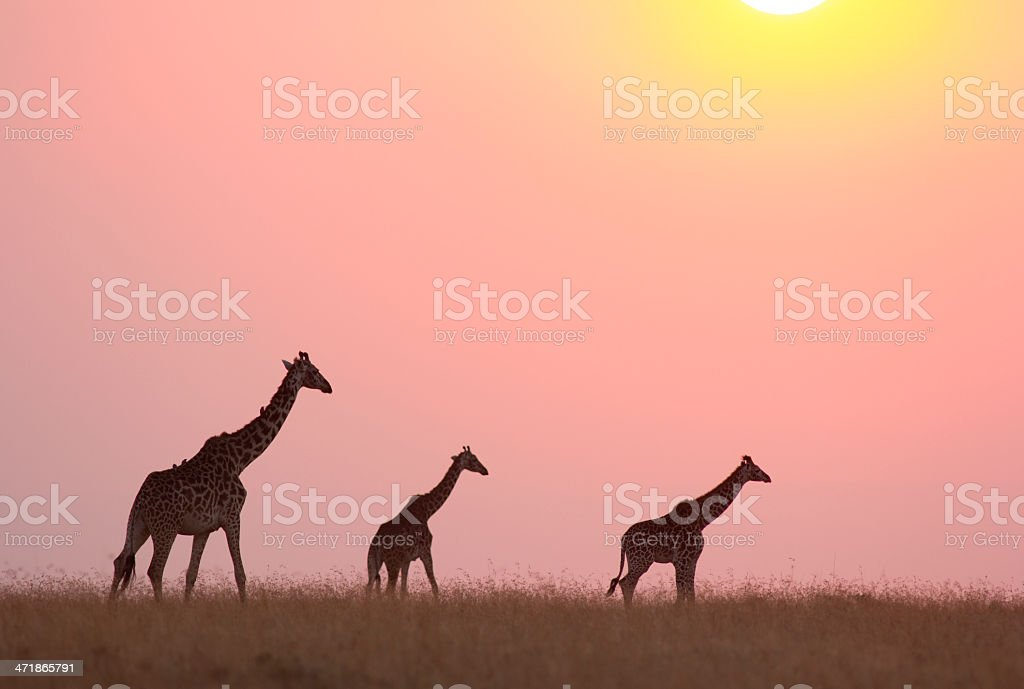 Giraffe at sunset royalty-free stock photo
